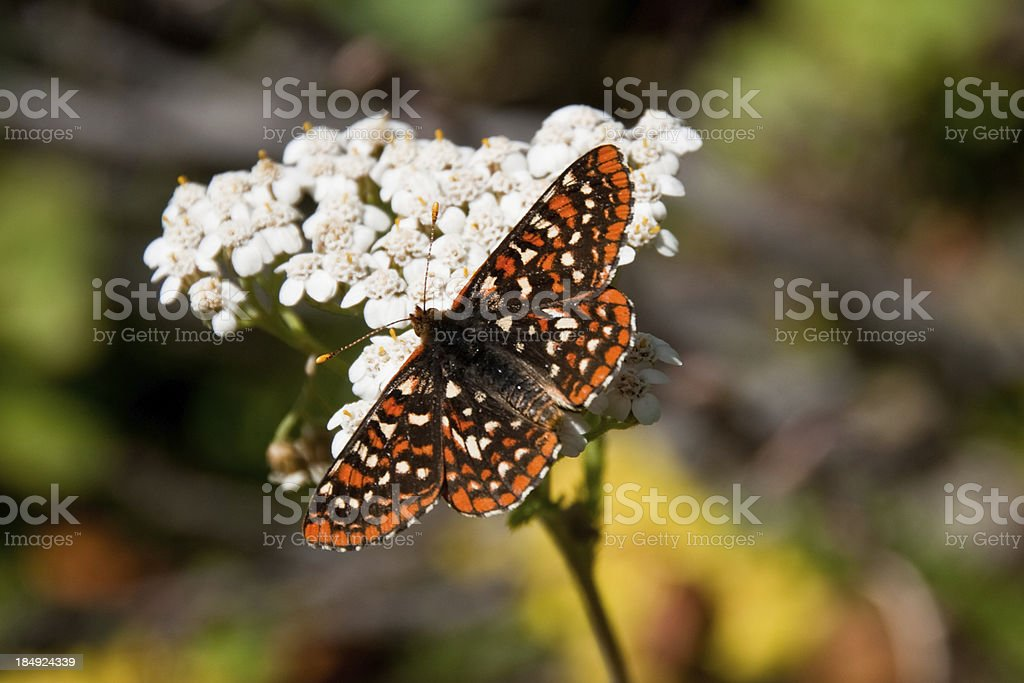 Checkerspot Butterfly on a Yarrow Blossom stock photo