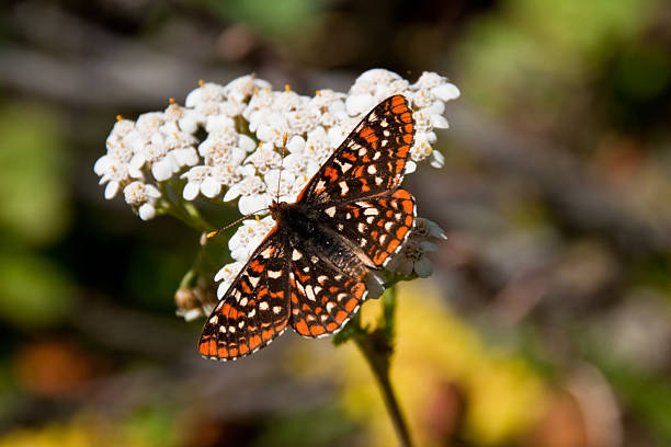 checkerspot butterfly on a yarrow blossom - jeff goulden butterfly stock pictures, royalty-free photos & images