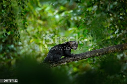 Tayra, small predator in the tropic forest. Tayra, Eira barbara, omnivorous animal from the weasel family. Mammal hidden in junge, sitting on the green tree. Wildlife scene from nature, Mexico