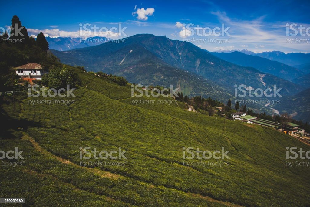 tea assam stock photo