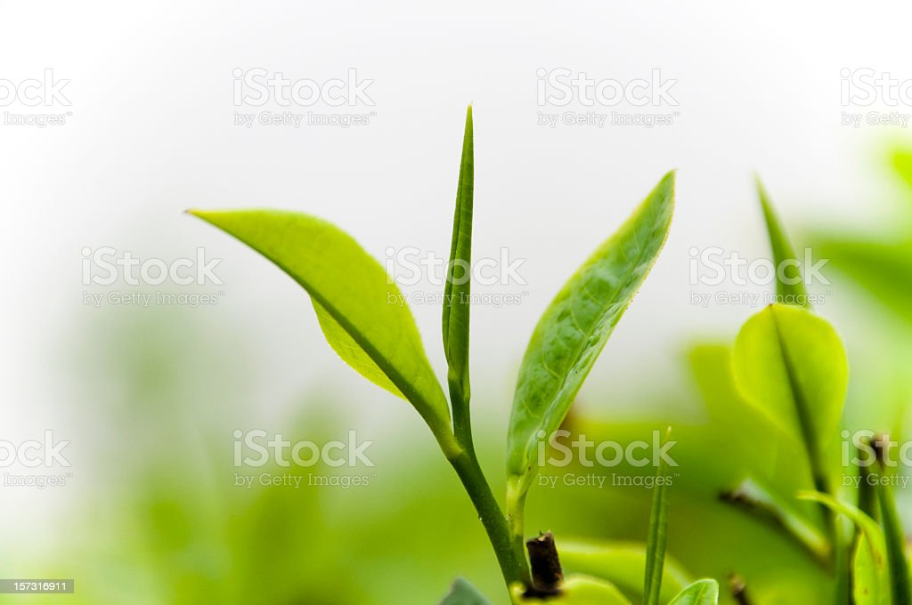 Tea Crop in Mist stock photo
