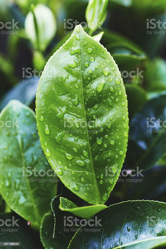 Tea Crop royalty-free stock photo