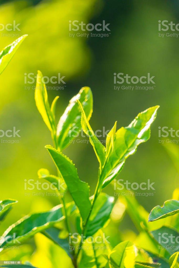 Tea Crop foto de stock royalty-free