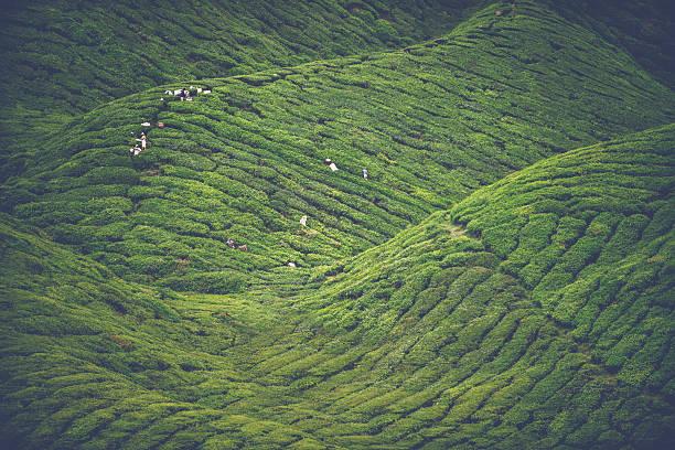 Tea cultivation stock photo