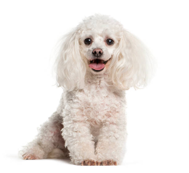 Tea cup Poodle sitting in front of white background Tea cup Poodle sitting in front of white background poodle stock pictures, royalty-free photos & images