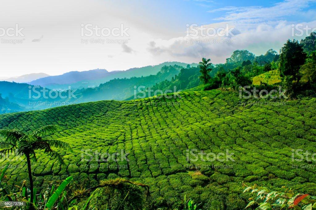 Tea Farm at Cameron Highlands stock photo