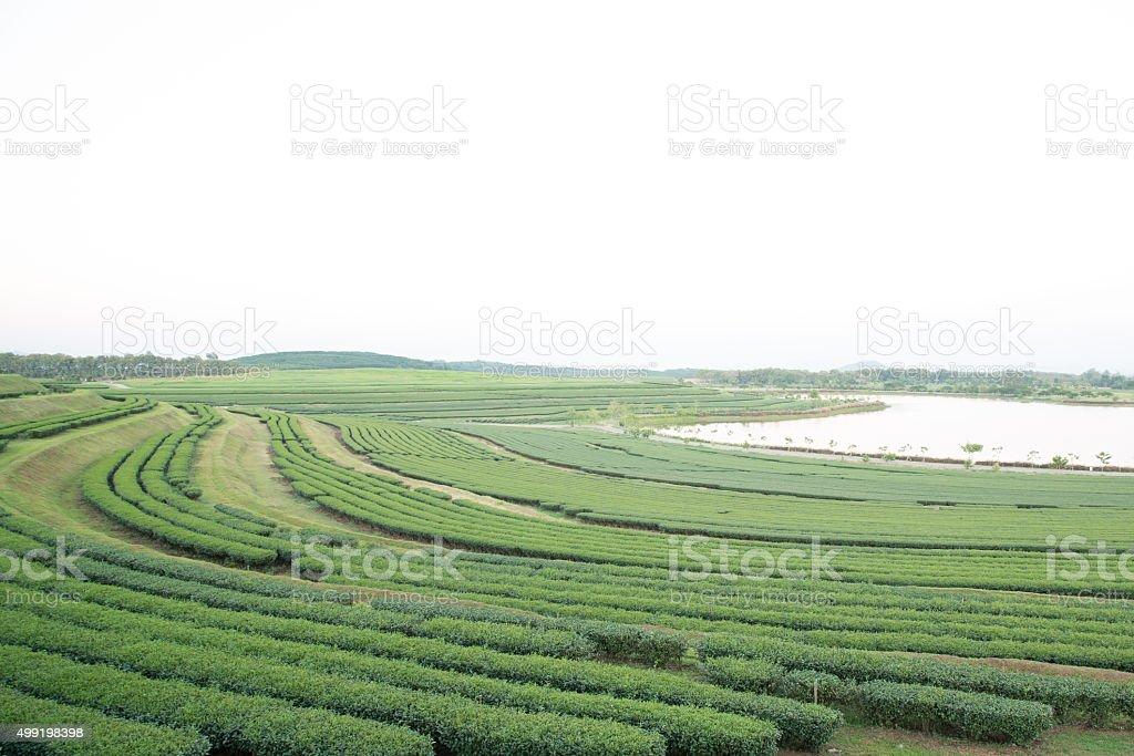 Tea farm on mountain, Thailand. - Royalty-free 2015 Stock Photo