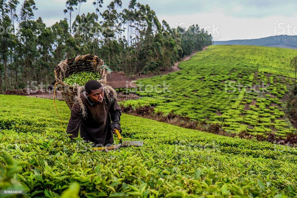 Tea Farmer stock photo