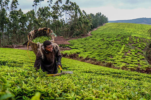 Tea Farmer stock photo