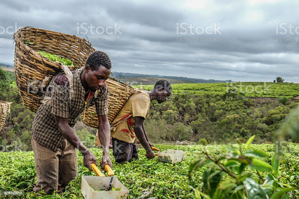 Tea farmers stock photo