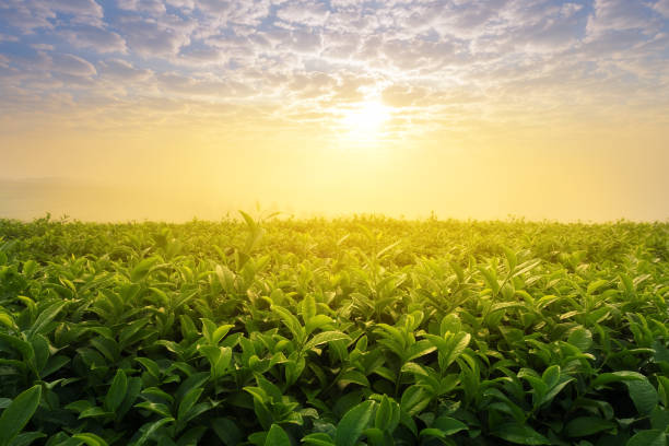 Tea field in morning Tea plantation. Tea field with sunlight in morning tea crop stock pictures, royalty-free photos & images