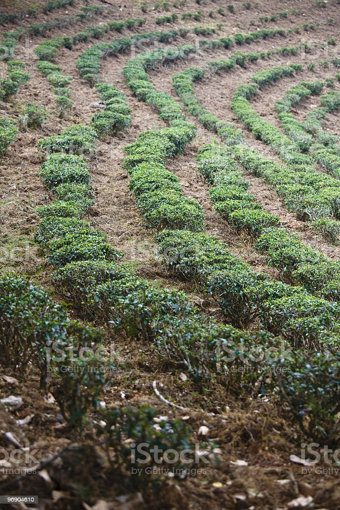 Tea field. royalty-free stock photo