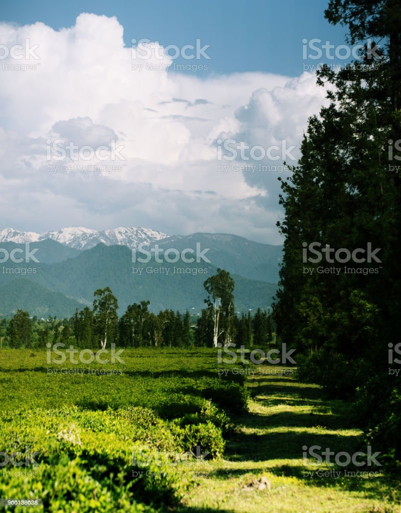 Tea fields in the foothills. Panoramic view - Стоковые фото Без людей роялти-фри