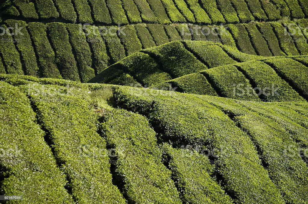 Tea fields of the Cameron Highlands royalty-free stock photo