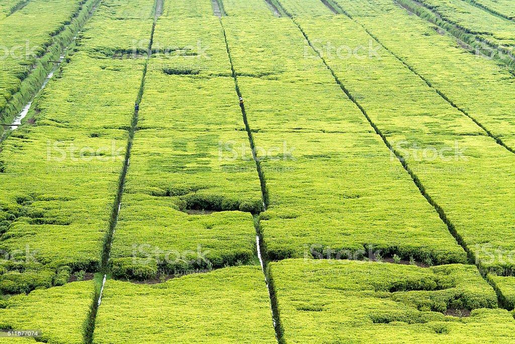 tea fields stock photo
