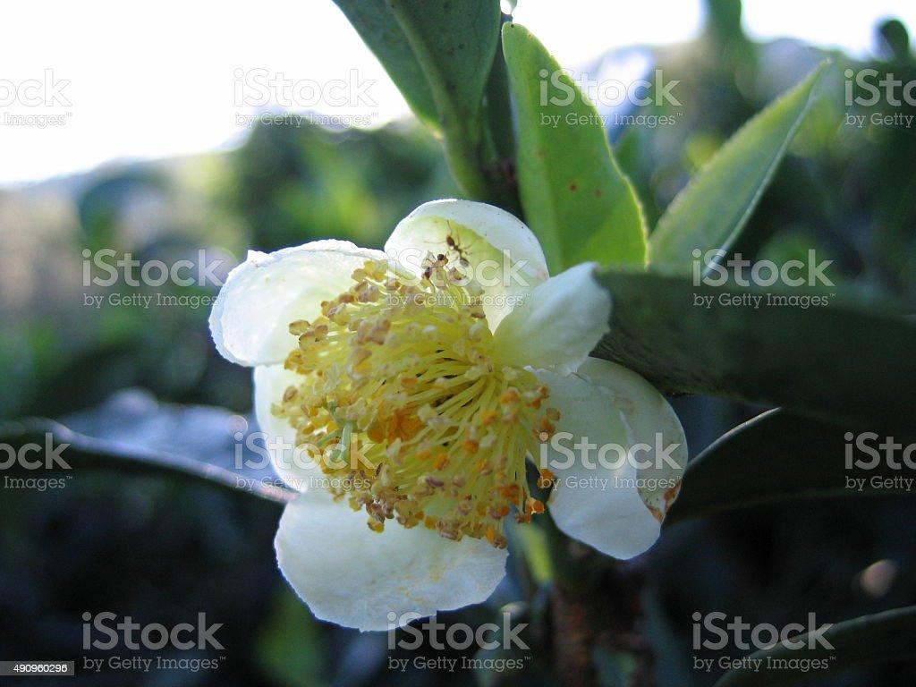 tea flower stock photo