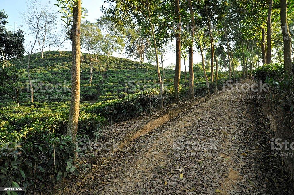 Tea Garden in Bangladesh stock photo