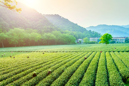 istock Tea garden in Hangzhou, West Lake, Longjing 689220032