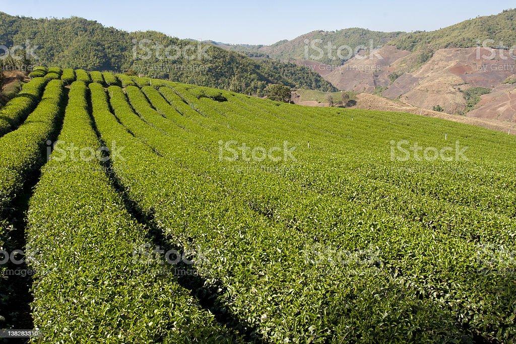 Tea garden in Thailand royalty-free stock photo