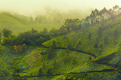 Tea Garden of Munnar