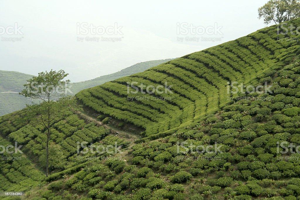 Tea Garden on Mountain Slope royalty-free stock photo