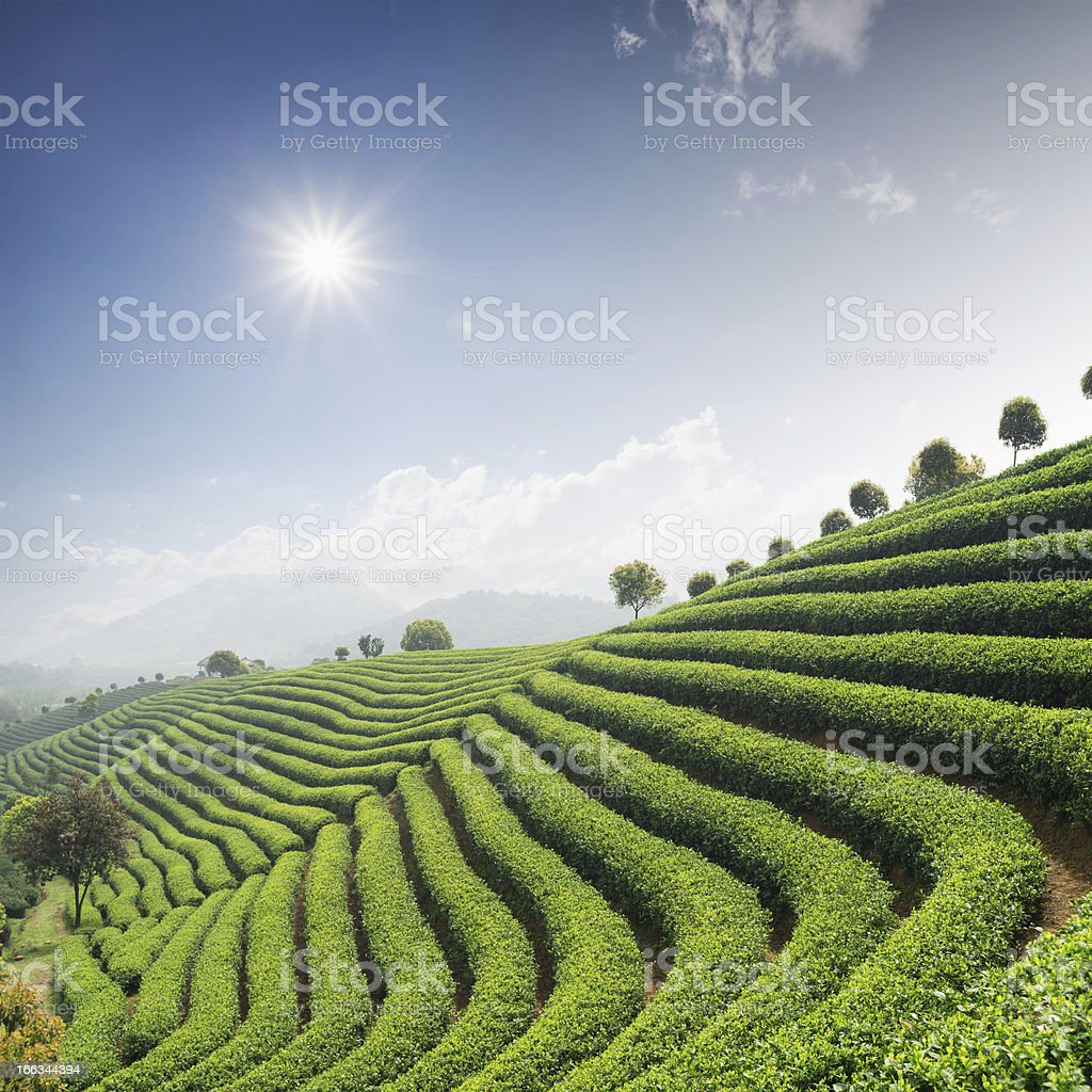 tea garden royalty-free stock photo