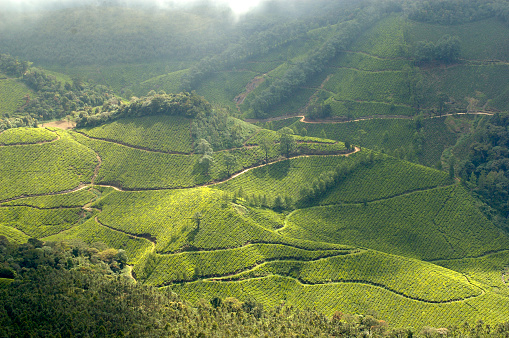 Pathways wind itself through tea plantations