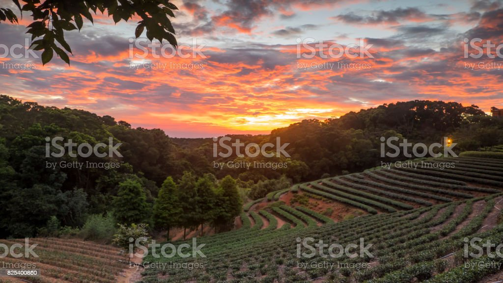 tea garden sunset in the summer time with nice background view stock photo