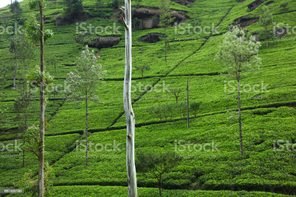 Tea Gardens - Mackwoods Sri Lanka stock photo