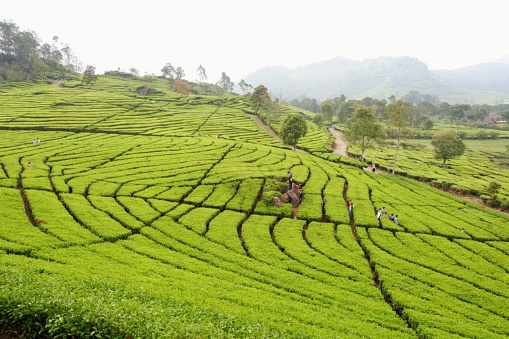 Tea gardens with some trees