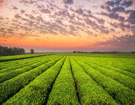 istock Tea growing in spring near sunset 672226058