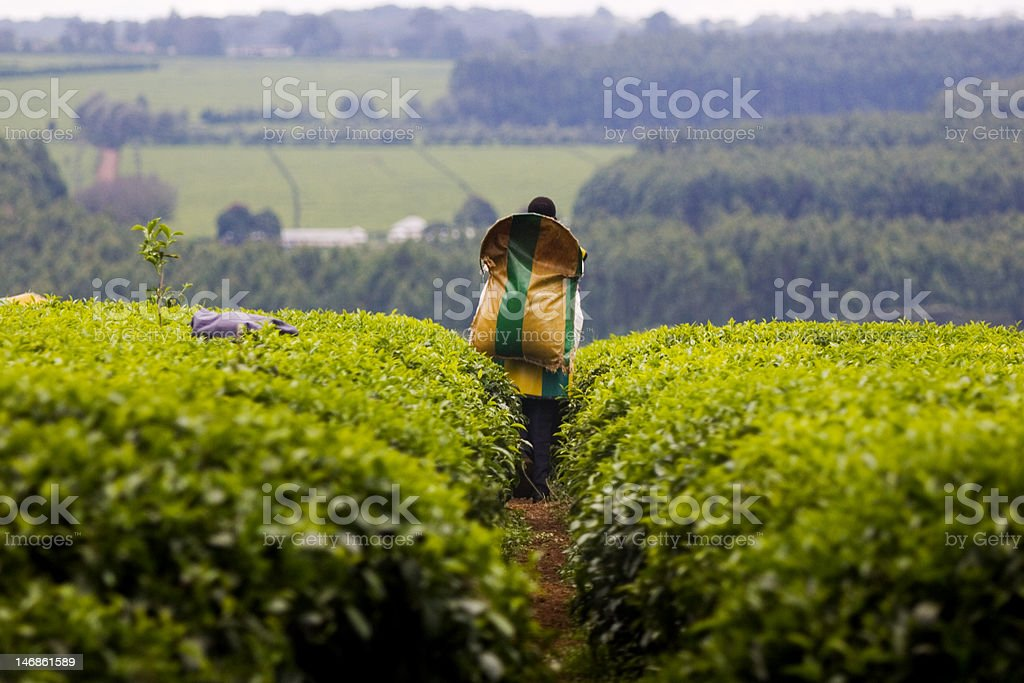 Tea harvest in Kericho, Kenya stock photo