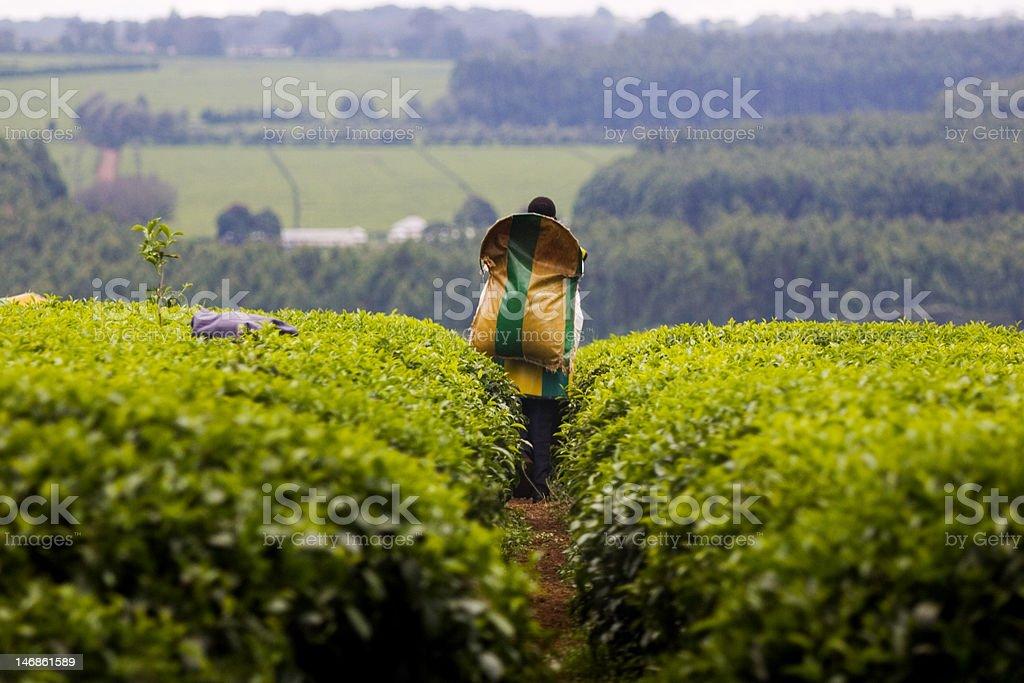 Récolte du thé en de Kericho, Kenya - Photo