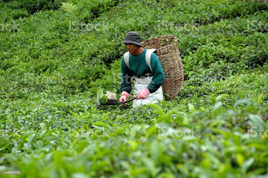 Tea Harvesting stock photo