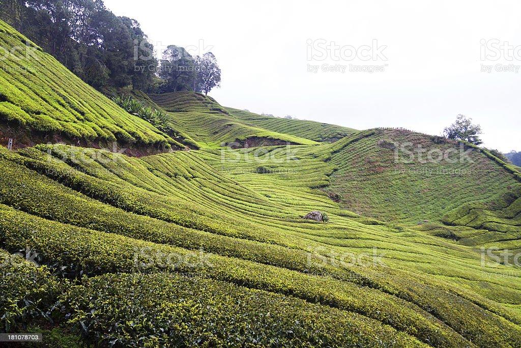 Tea hills royalty-free stock photo