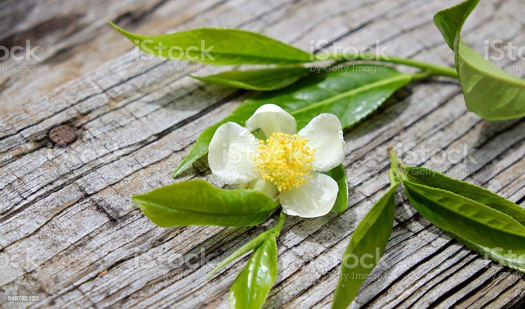 Tea leaf and tea flower stock photo