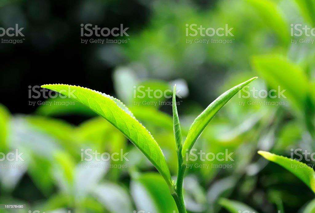 Tea Leaf Close Up royalty-free stock photo
