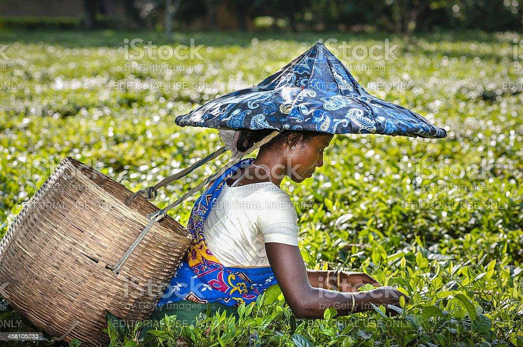 Tea leaf harvester, Jorhat, Assam, India stock photo