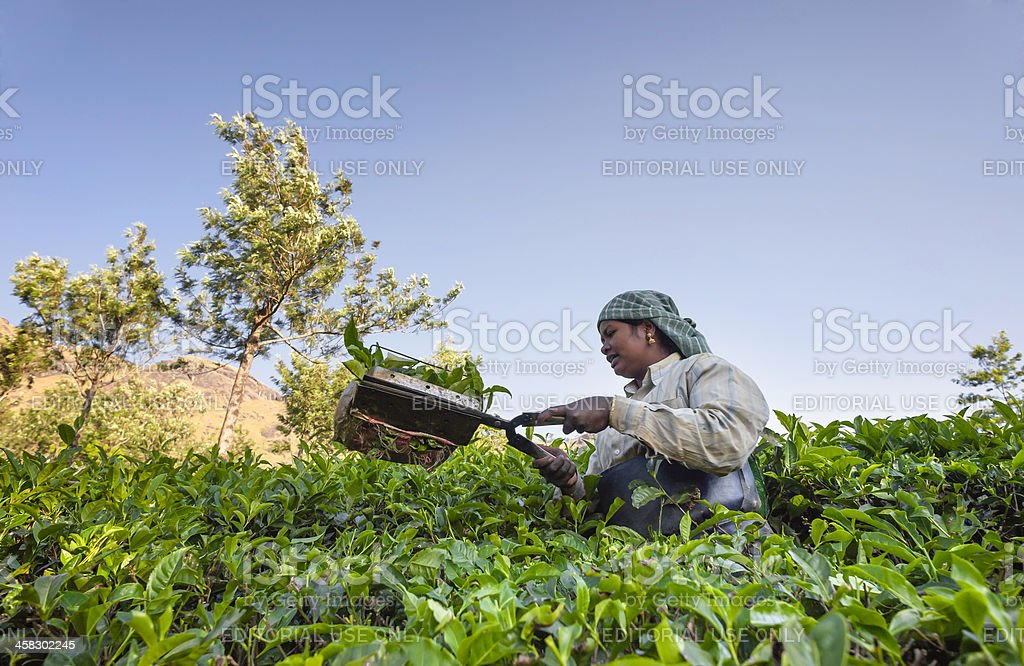 Tea leaf harvester, Munnar, Kerala, India. royalty-free stock photo