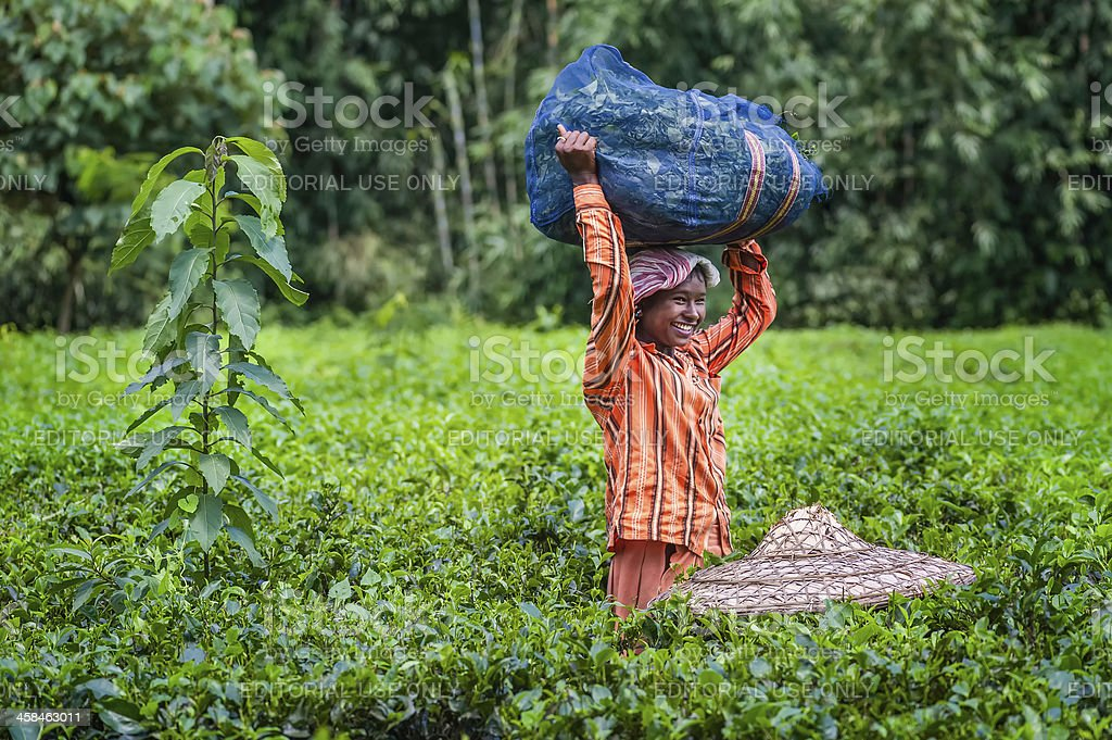 Tea leaf harvester with bamboo hat, Jorhat, Assam, India. royalty-free stock photo