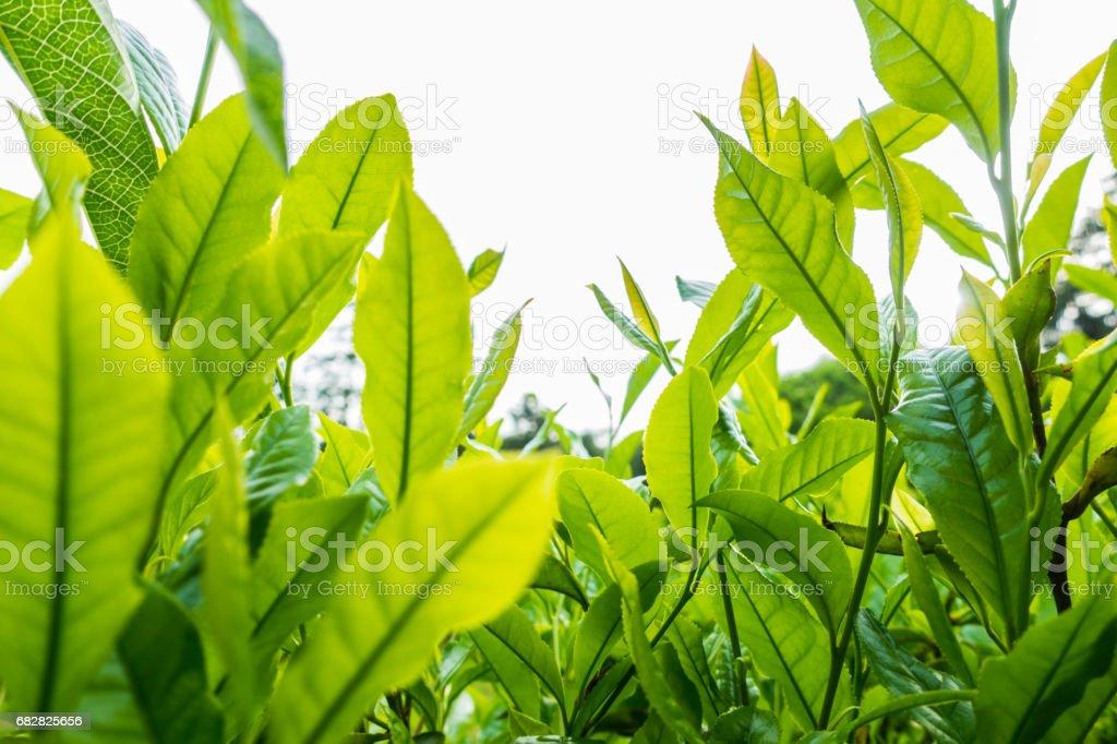 Tea Leaf Lizenzfreies stock-foto
