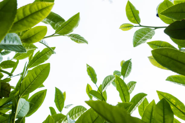 tea leaf - tea leaf stock photos and pictures