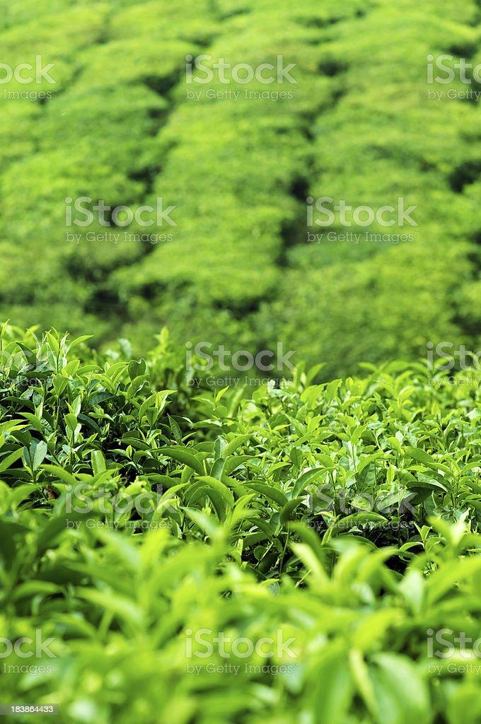 Tea leaves at plantation stock photo