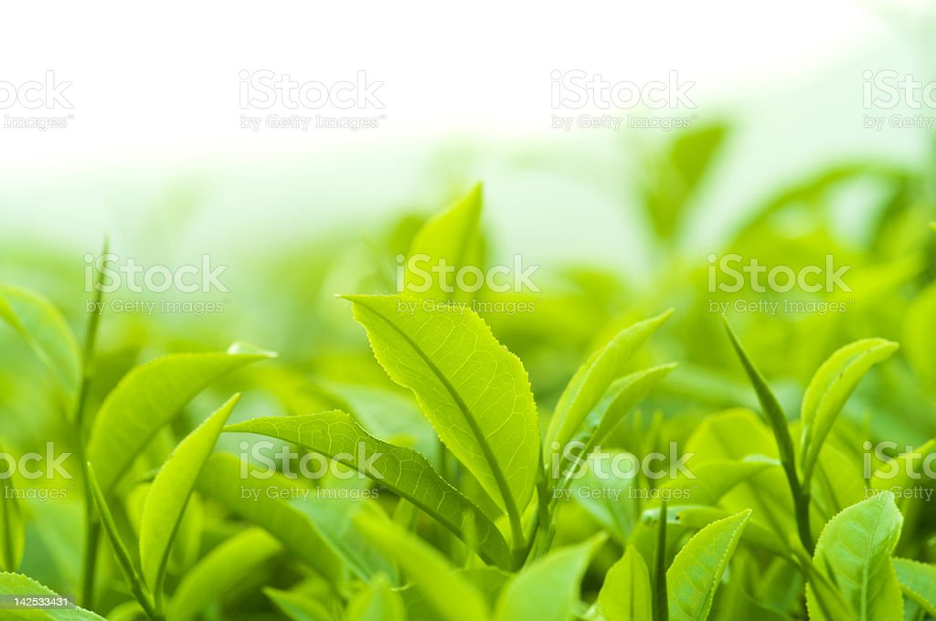 Tea leaves royalty-free stock photo