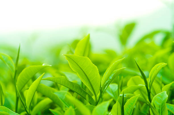 tea leaves - tea leaf stock photos and pictures