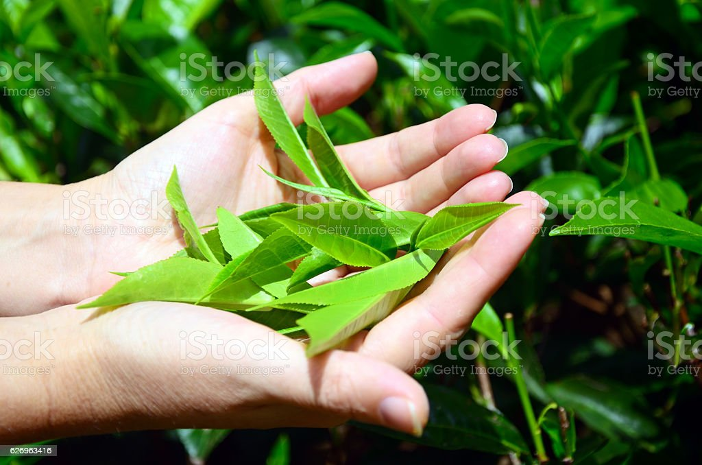 Tea Leaves stock photo