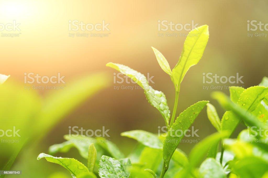 Teeblätter Lizenzfreies stock-foto