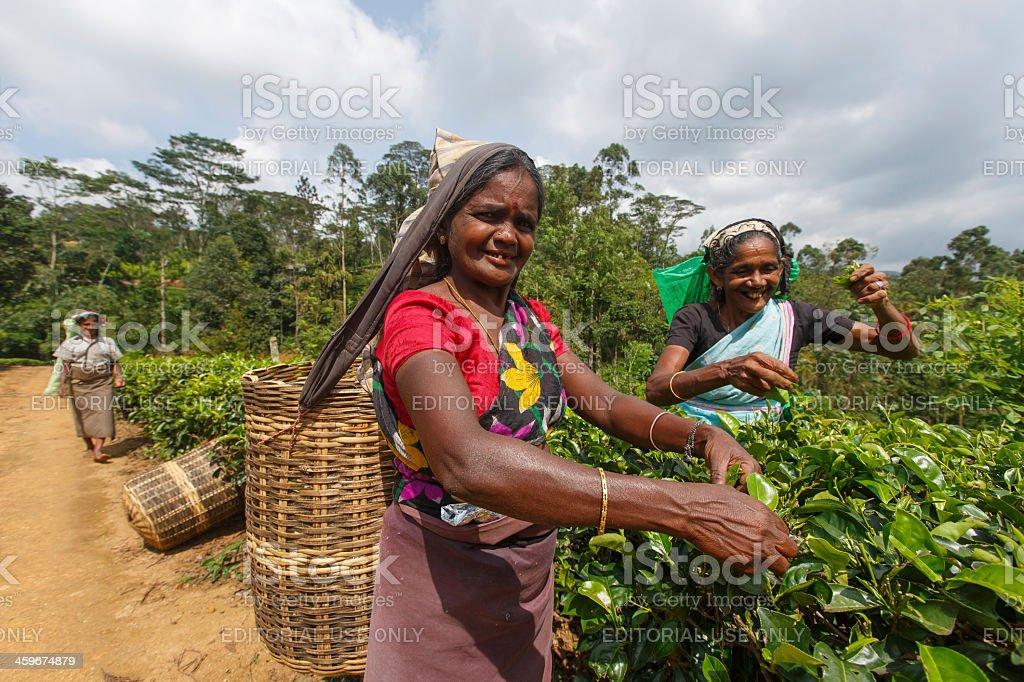 Tea picker in Sri Lanka stock photo