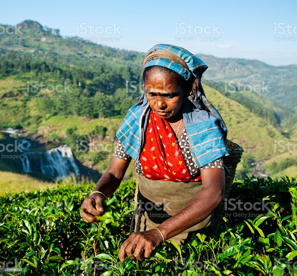 Tea Picker Picks Leaves Agriculture Concept stock photo