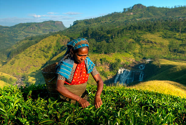 tea picker - rawpixel stock-fotos und bilder